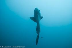 BD-141023-Nusa-Penida-6052-Mola-mola-(Linnaeus.-1758)-[Ocean-sunfish.-Klumpfisk].jpg